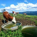 Vache photgraphiée par Zdenka au Mont Vouillot, 2021-07-11 -WA0001
