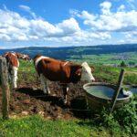 Vache photgraphiée par Zdenka au Mont Vouillot, 2021-07-11 -WA0002