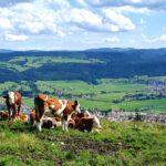 Panorama avec vaches du Mont Vouillot photgraphié par Zdenka 2021-07-11 -WA0011
